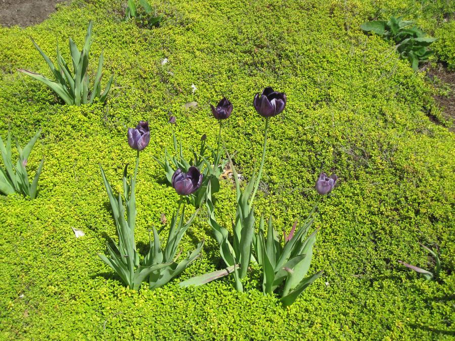 Tulips by r-a-i-n-y