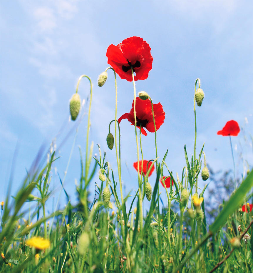 Poppies by Thaloanthe