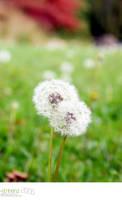Dandelions by strikenz