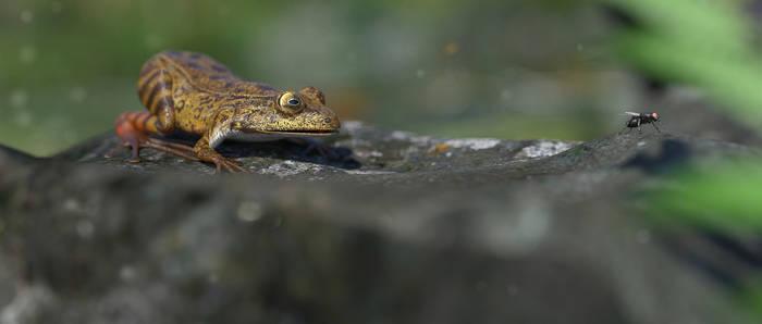 Californian Red Legged Frog