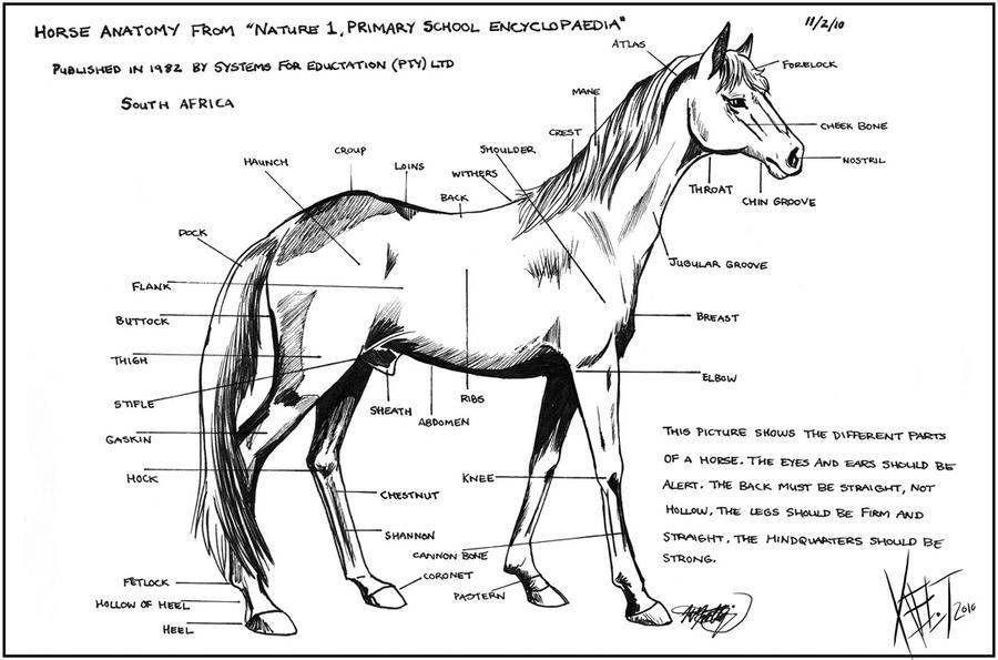 Horse anatomy charts