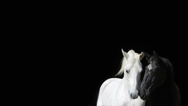 Black And White Animals Horses Color Contrast 1920 by Knight1229