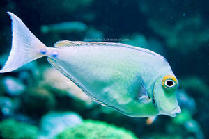 blue gills. by AlexandraBuck