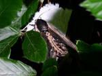 Privet Hawk Moth 02