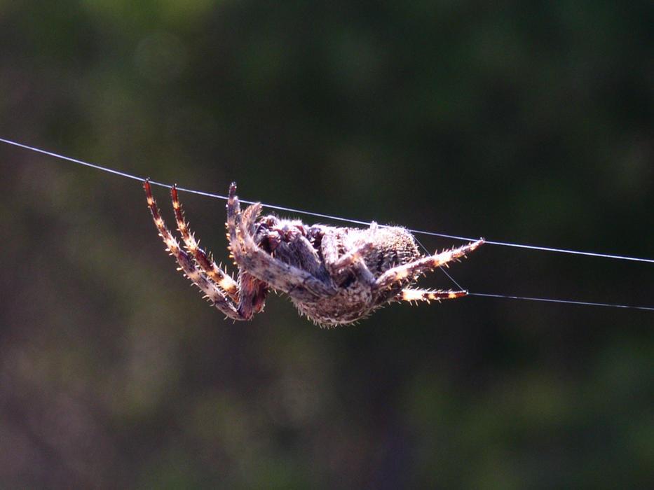 Weaving Brown Spider