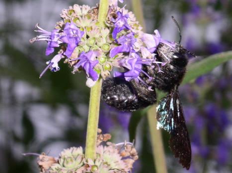 Black Bee 02