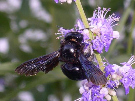 Black Bee 01