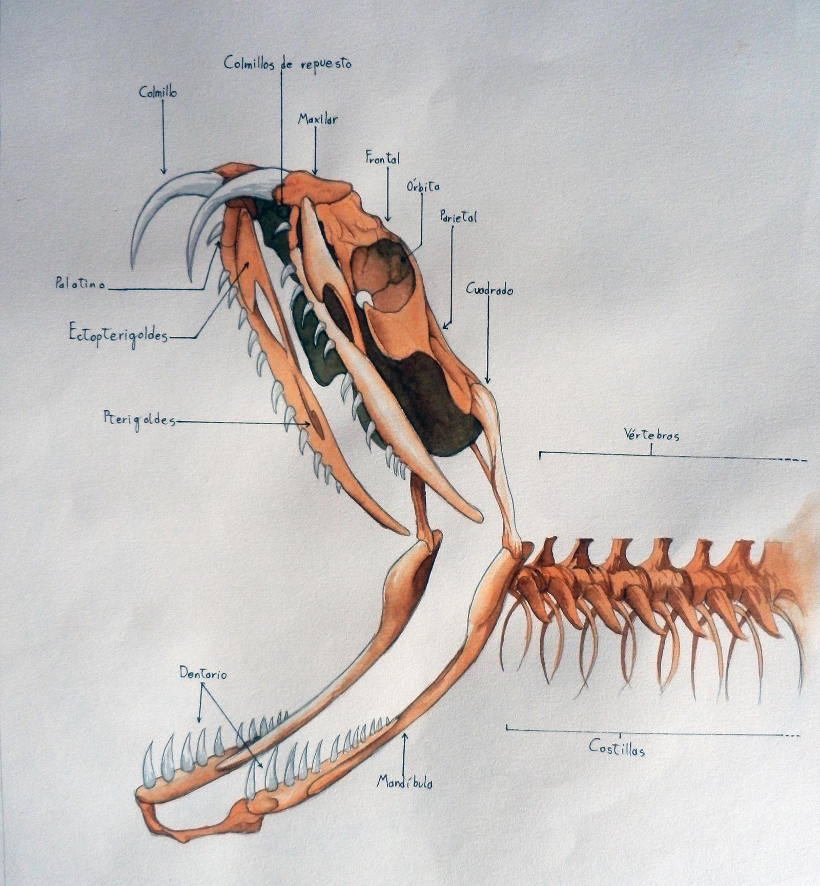 Snake Skeleton (Anatomy study) by Erobertix on DeviantArt