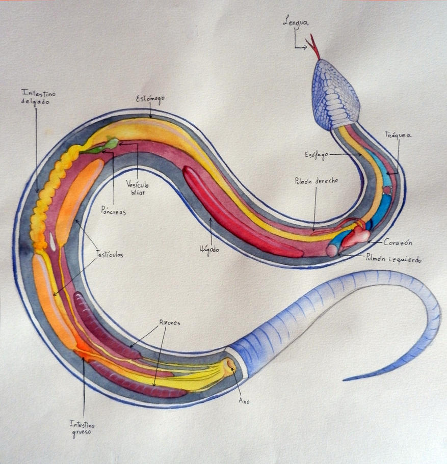 Snake organs (Anatomy study) by Erobertix on DeviantArt