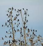 Stock Great Cormorants