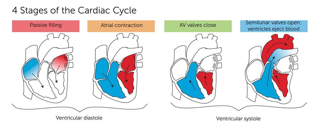 Cardiac Cycle By Gtaccir On Deviantart