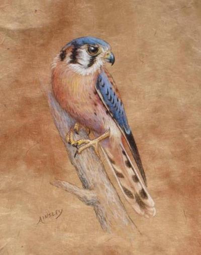 Male Kestrel by AinsleyM