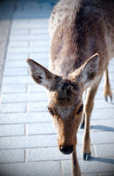 Miyajima Deer 2