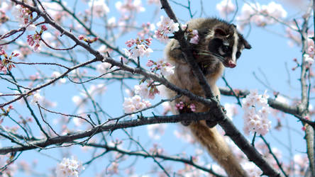 Sakura Civet