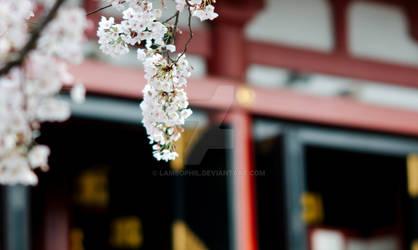 Sakura against the Temple