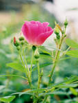 Pink Rose by HorselessHerder
