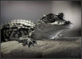 Baby Alligator by QNetX