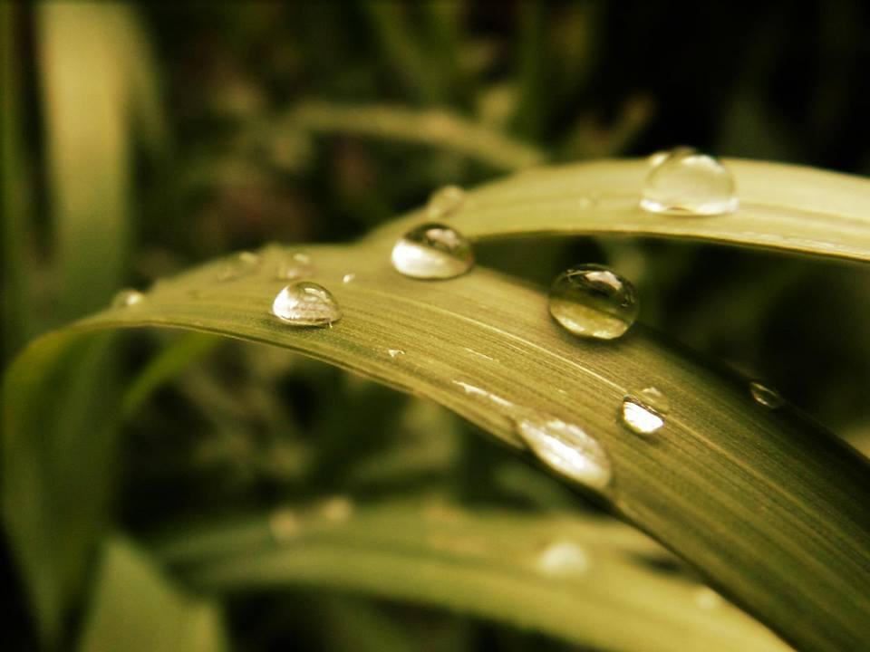 Golden Dew by ignotism