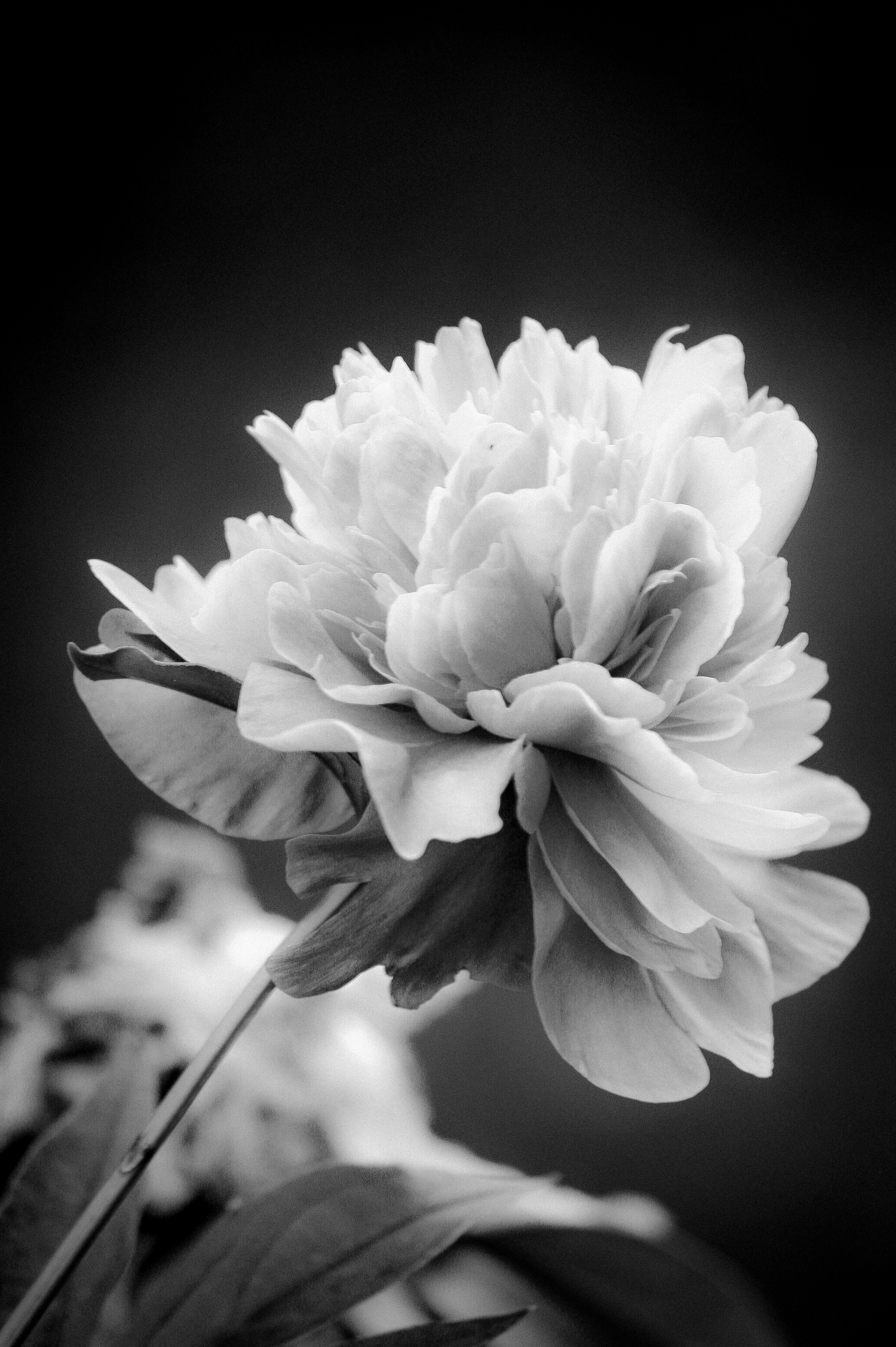 Dramatic Black and White Flower by technogeek11 on DeviantArt