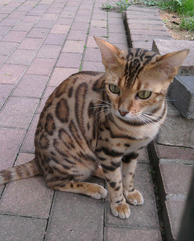 Ocicat Cat Pictures