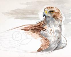 Booted Eagle