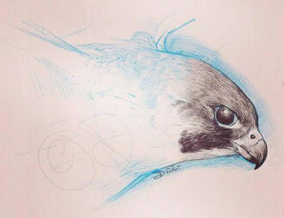 peregrine falcon sketch by Psamophis