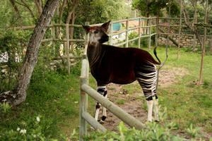 okapi by aratak