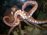 Octo-showoff-Stock