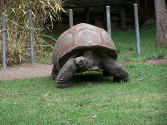Tortoise2-Stock by SilkenWebs