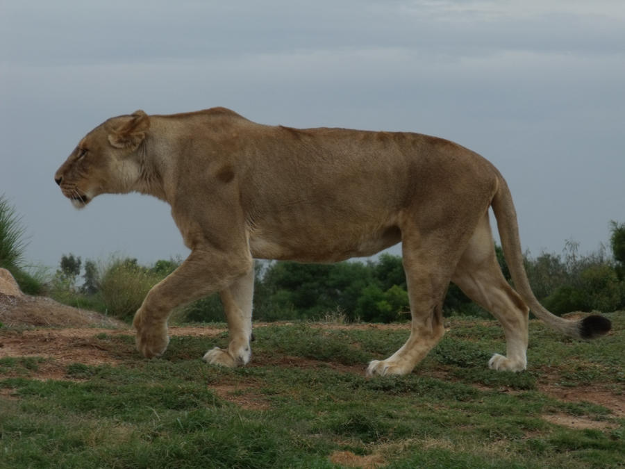 LionW17 by SilkenWebs
