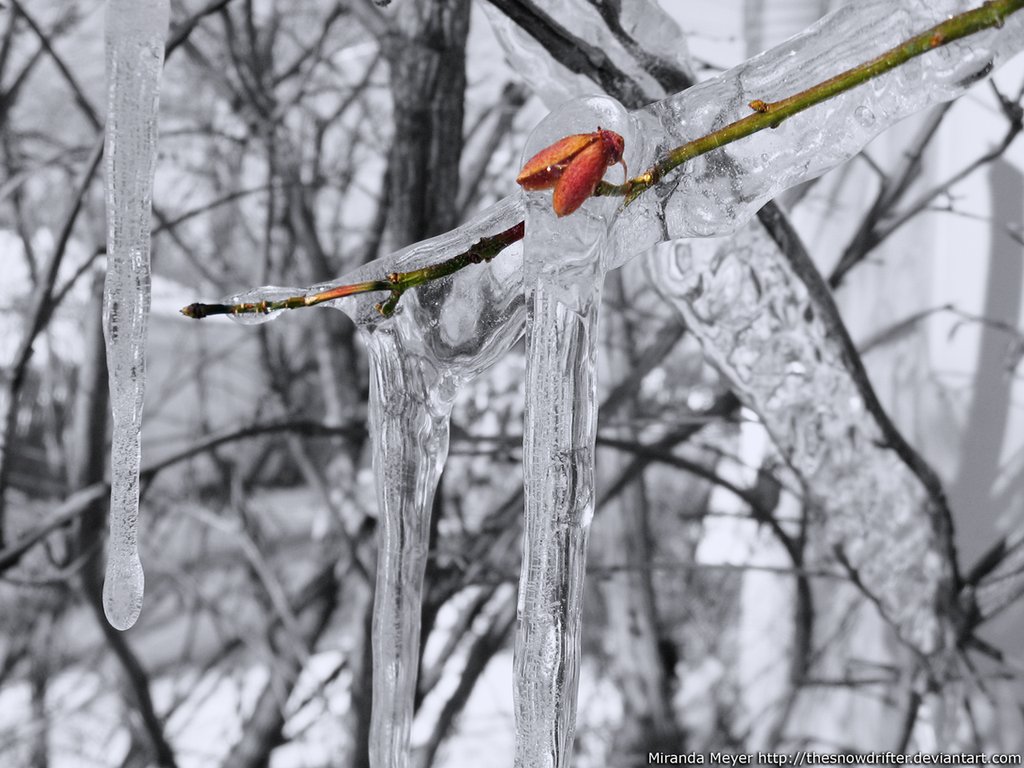 frozen buds on a - photo #40