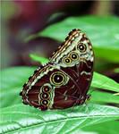 Common Morpho by TruemarkPhotography
