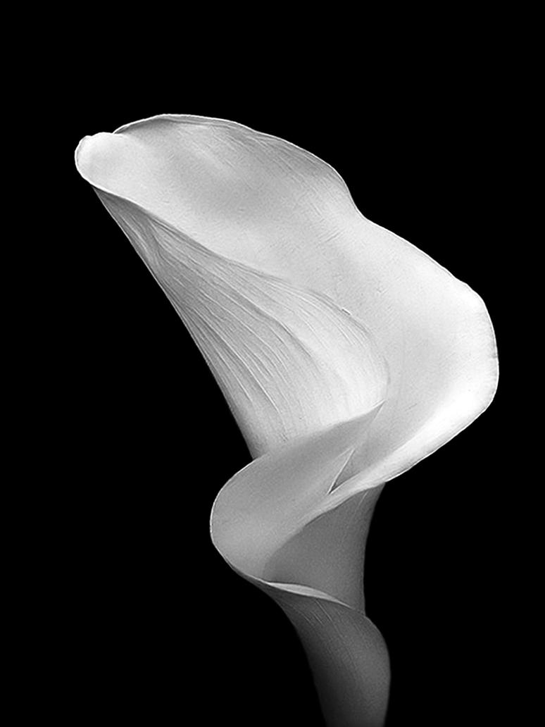 Black and White Cala or Calla by TruemarkPhotography