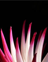 Sorbet Dahlia Closeup by TruemarkPhotography