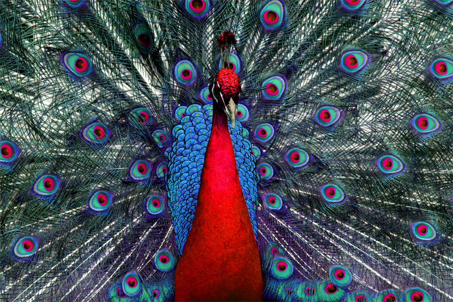 Peacock Tweaked 01 by andras120