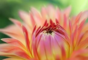Dahlia 07 by TruemarkPhotography