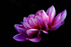 Dahlia in the Dark by TruemarkPhotography