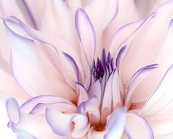 Dahlia Candy 2 by TruemarkPhotography