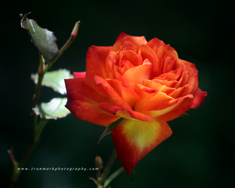 Lizzie's Rose by andras120