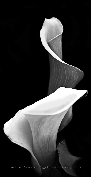 Cala Lily Pair in BW by TruemarkPhotography