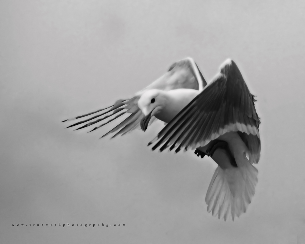 Seagull 02 by TruemarkPhotography