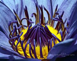Water Lilly Heart by TruemarkPhotography