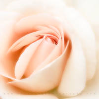 Pale Rose by TruemarkPhotography