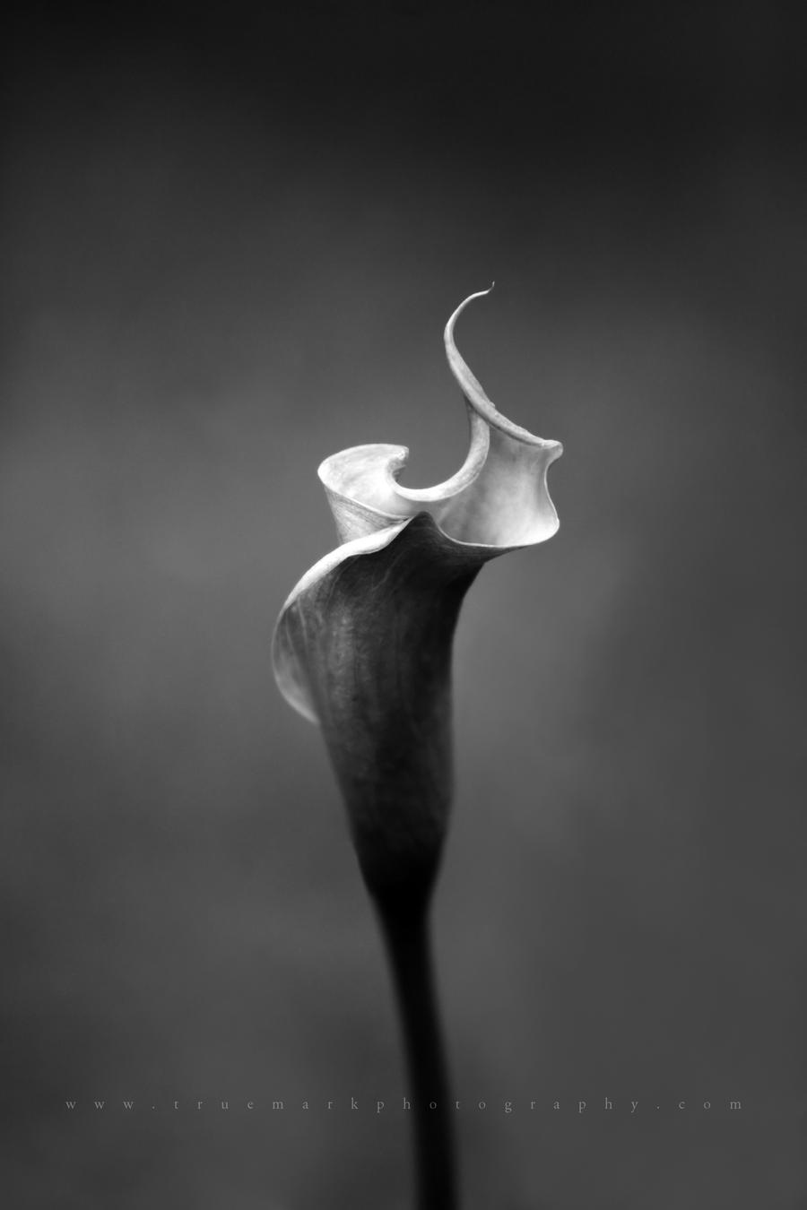Solitary Lily by andras120