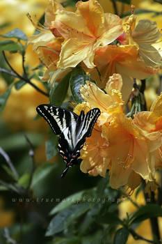 Rhodie Swallowtail