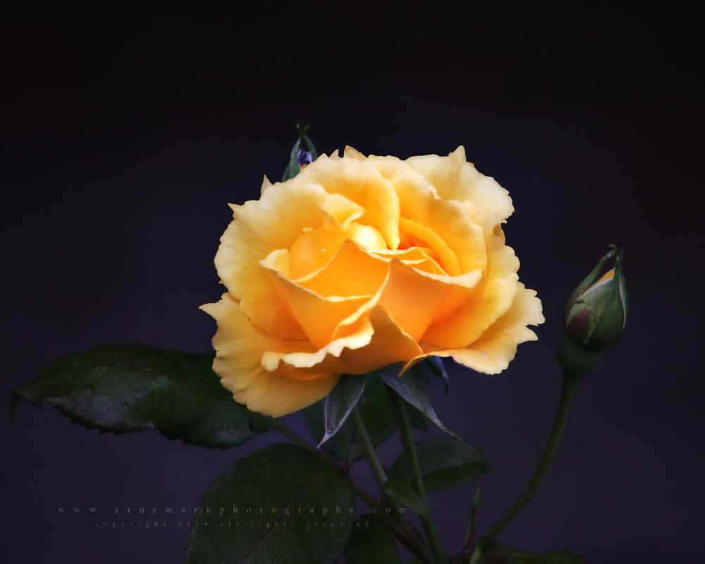 Yellow Rose by andras120