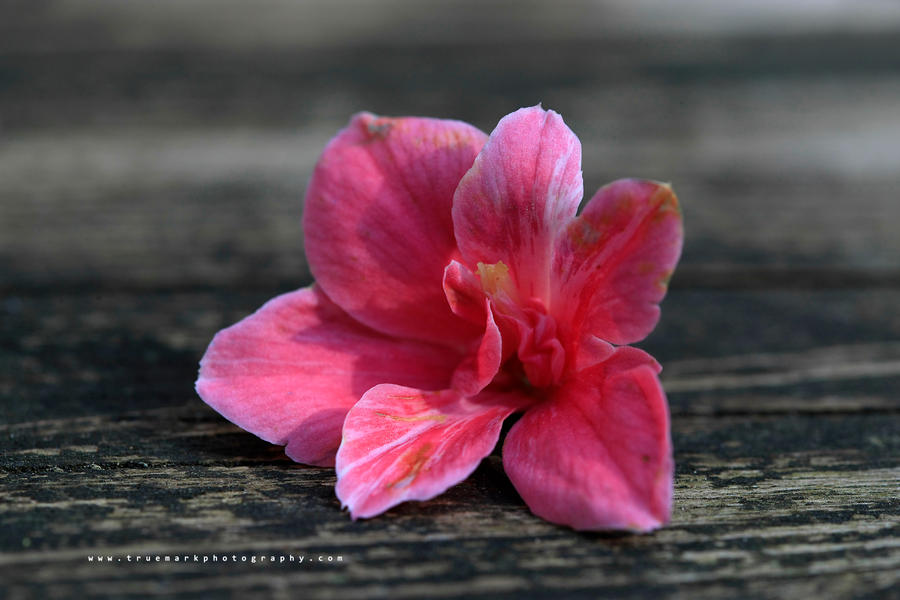 Elizabeth's Camillia by TruemarkPhotography
