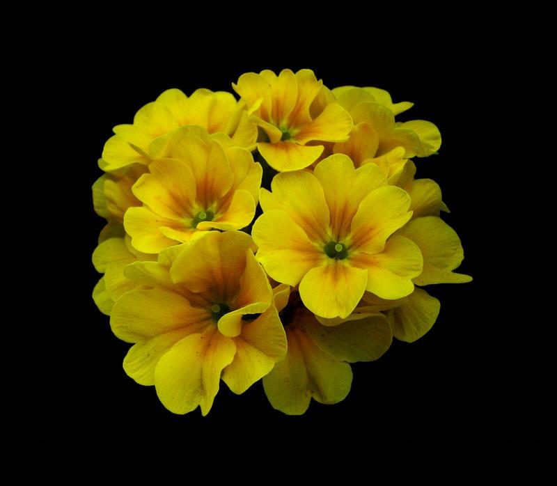 A Burst of Yellow Primrose by TruemarkPhotography