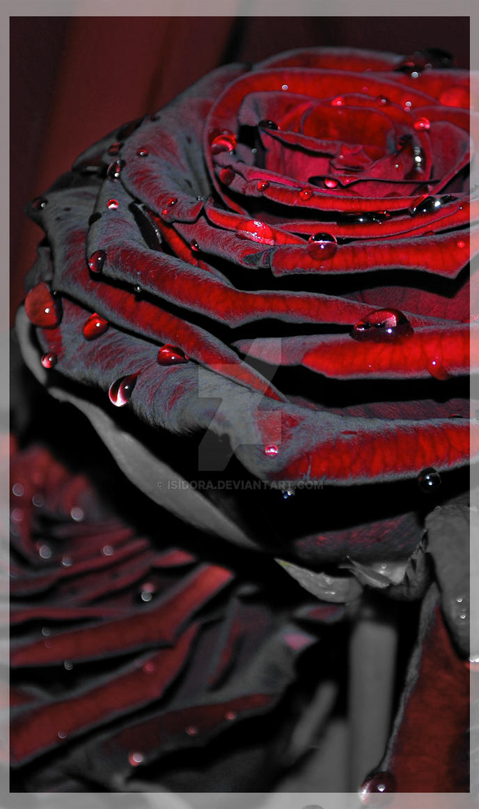rose dew by Isidora