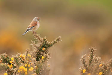 Linnet,male with breeding plumage by Weekendphotographer